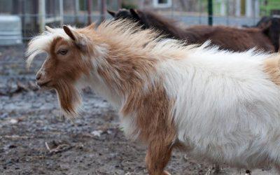 Nigerian dwarf goat sire-Monte